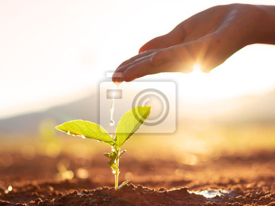 Fototapeta Wręcza opiekę i podlewanie młodej dziecko rośliny rw sekwenci kiełkowania na żyznej ziemi przy zmierzchu tłem