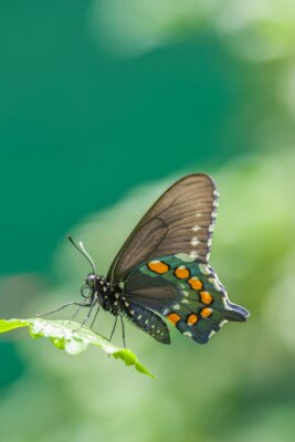 Fototapeta Wspólne Mormon - Kobieta [Papilio polytes]