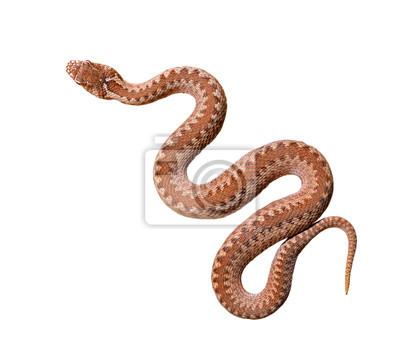 Fototapeta Wspólne żmija wąż na białym