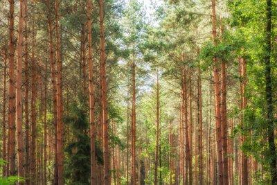 Fototapeta Wunderschöne Aufnahme eines Nadelwaldes im Sonnenschein
