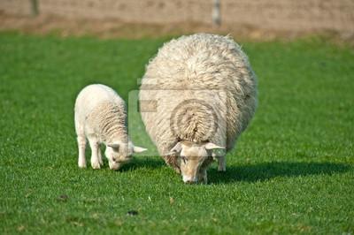 Wypas owiec na wiosnę
