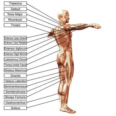 Fototapeta Wysoka rozdzielczość 3D anatomii człowieka mięśnie