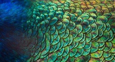 Fototapeta Wzory i kolory pawich piór.