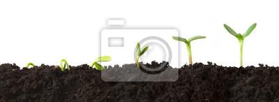 Fototapeta Wzrost Sequence - Sekwencja sadzonek rosnących coraz wyższy, odizolowane na białym tle.