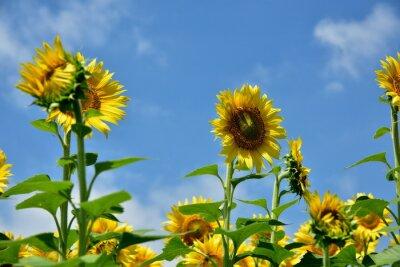 Fototapeta 青 空 と 鮮 や か な 向 日