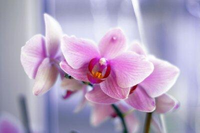 Fototapeta Нежная бархатистая лиловая орхидея