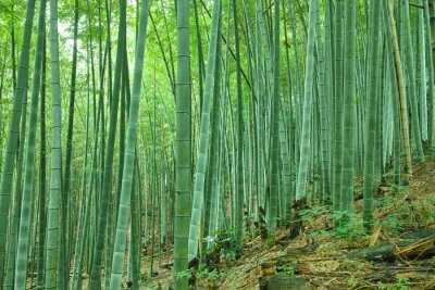 Fototapeta 日本 の 竹林