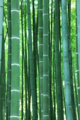 Fototapeta 嵯峨野 の 竹林