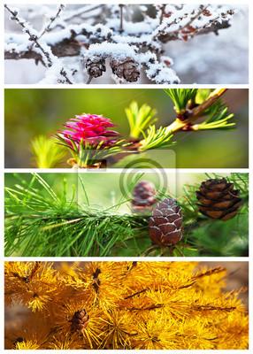 Fototapeta Collage. Modrzew drzewa. Cztery pory roku. Сalendar