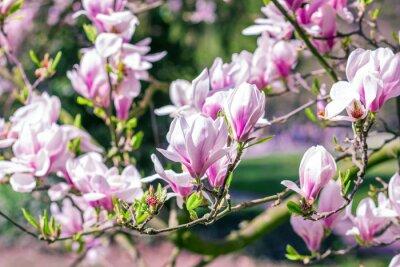 Fototapeta Flowering branches of magnolia tree (Magnolia × soulangeana)