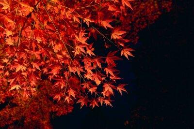 Fototapeta 真っ赤な紅葉