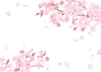 Fototapeta 春の花:さくらと散る花びらのフレーム 水彩イラストのトレースベクター