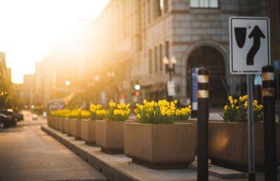 Fototapeta Yellow Flowers On Street Amidst Buildings