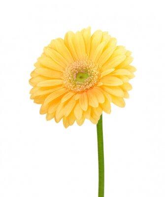 Yellow gerbera on white