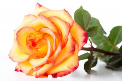 Fototapeta Yellow rose with a red border on petals on a white background