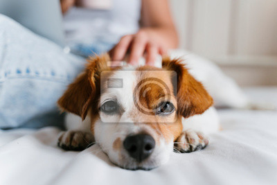 Fototapeta young caucasian woman on bed working on laptop. Cute small dog lying besides. Love for animals and technology concept. Lifestyle indoors