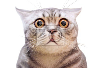 Fototapeta Young crazy surprised cat make big eyes closeup. American shorthair surprised cat or kitten isolated funny face. Cute tabby cat looking surprised scared. Emotional surprised wide eyed kitten portrait