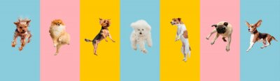 Fototapeta Young dogs jumping, playing, flying. Cute doggies or pets are looking happy isolated on colorful or gradient background. Studio. Creative collage of different breeds of dogs. Flyer for your ad.