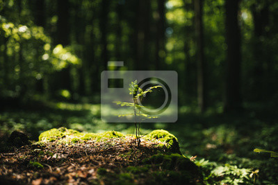 Fototapeta Young rowan tree seedling grow from old stump in Poland forest.