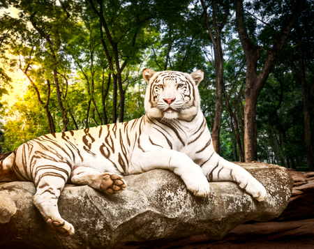 Fototapeta Young white bengal tiger in the act of relax on stone at natural forest