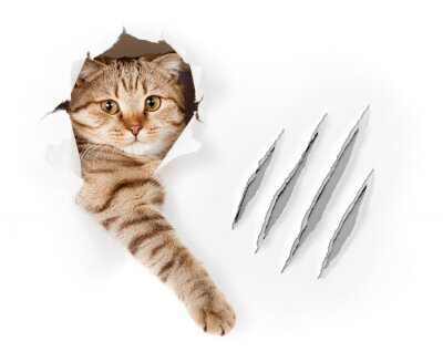 Fototapeta Zabawna Kot w otworze z zarysowania tapety szczypce izolowane