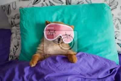 Fototapeta Zabawny i uroczy pomeranian pies szczeniak w masce snu kładzie się z powrotem na poduszkach pod koce z pazerami wystającymi z niego