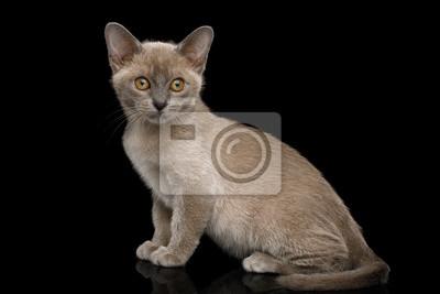 Fototapeta Zabawny Niebieski Kot Birmański Z żółtymi Oczami Siedzi