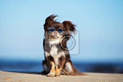 Fototapeta zabawny pies chihuahua w okulary pozowanie na plaży