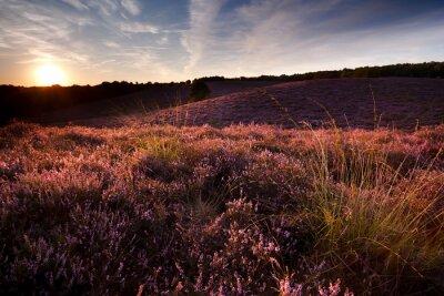 Fototapeta Zachód słońca na wzgórzu pokryte wrzosem