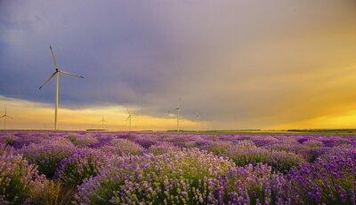 Fototapeta Zachód słońca nad pola lawendy z turbiny wiatrowej