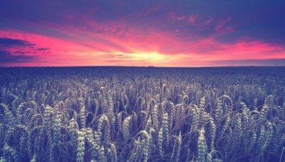 Fototapeta Zachód słońca nad pole zbóż