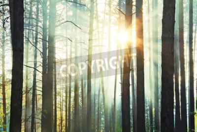 Fototapeta Zachód słońca w lesie