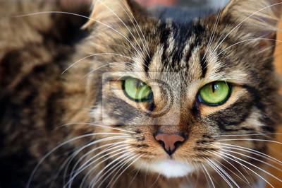 Fototapeta Zamknij się portret długowłosy brązowy pręgowany kot z zielonymi oczami