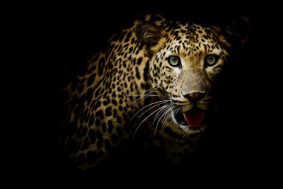 Fototapeta Zamknij się portret lampart z intensywnym oczy