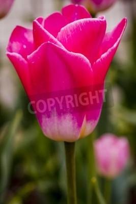 Fototapeta Zamknij się różowe i białe tulipany w pola tulipanów na żarówki gospodarstwa kwiat