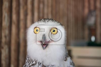 Fototapeta Zamknij snowy sowa oko z drewnianym tłem