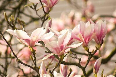 Fototapeta zarte Magnolienblüten