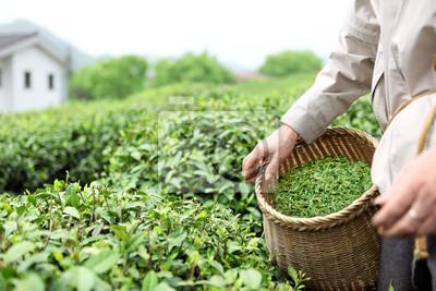 Zbieranie liści herbaty herbaty w ogrodzie