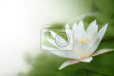 zbliżenie na lilii wodnej
