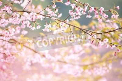 Fototapeta Zbliżenie Wild Himalayan Cherry archiwalne koloru