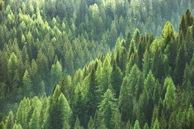 Fototapeta Zdrowe zielone drzewa w lesie stary świerk, jodła i sosna