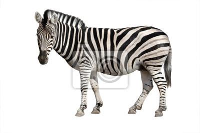 Fototapeta zebra isolated on white