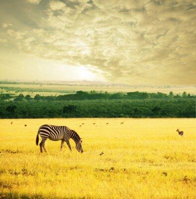 Fototapeta Zebra na wschodzie
