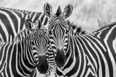 Fototapeta Zebre innamorate