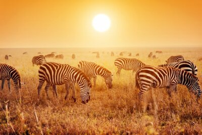 Fototapeta Zebry stado na afrykańskiej sawanny o zachodzie słońca.