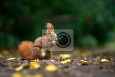 Fototapeta zgryzienia wiewiórka jesienią w parku na nakrętkach