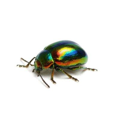 Zielona chrząszcz na białym tle