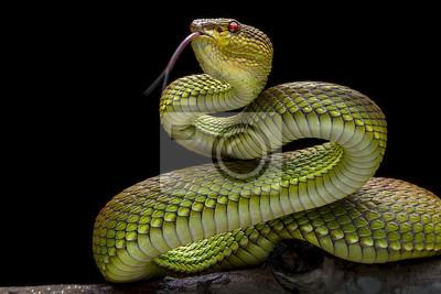 Fototapeta Zielona Goldy Viper - - Reptil Animals Photo Collection