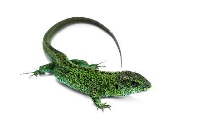 Fototapeta Zielona jaszczurka