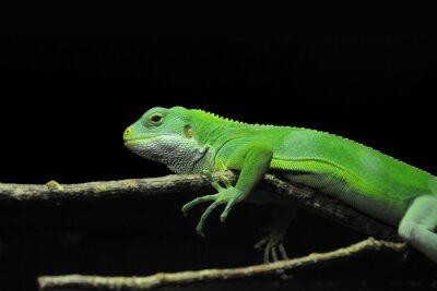 Fototapeta Zielona jaszczurka na oddział na czarnym tle